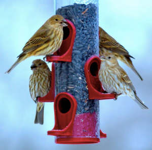 A favorite photo of some female house finches on my back yard on a cold winter day.
